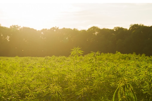 CBD rich Hemp farm field in Colorado with sun going down