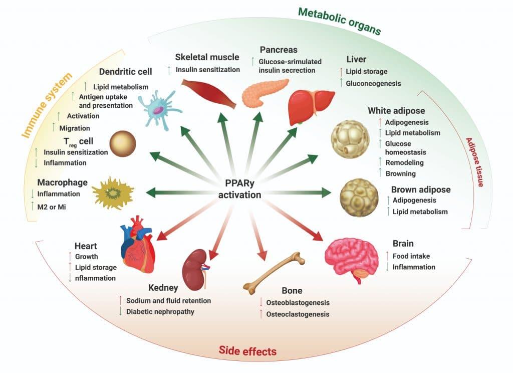 PPAR activation showing the different ways it affects our body which CBD activates PPAR