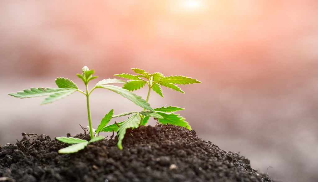 baby hemp plants planted in soil rich in CBD Cannabidiol cannabinoids terpenes and flavonoids