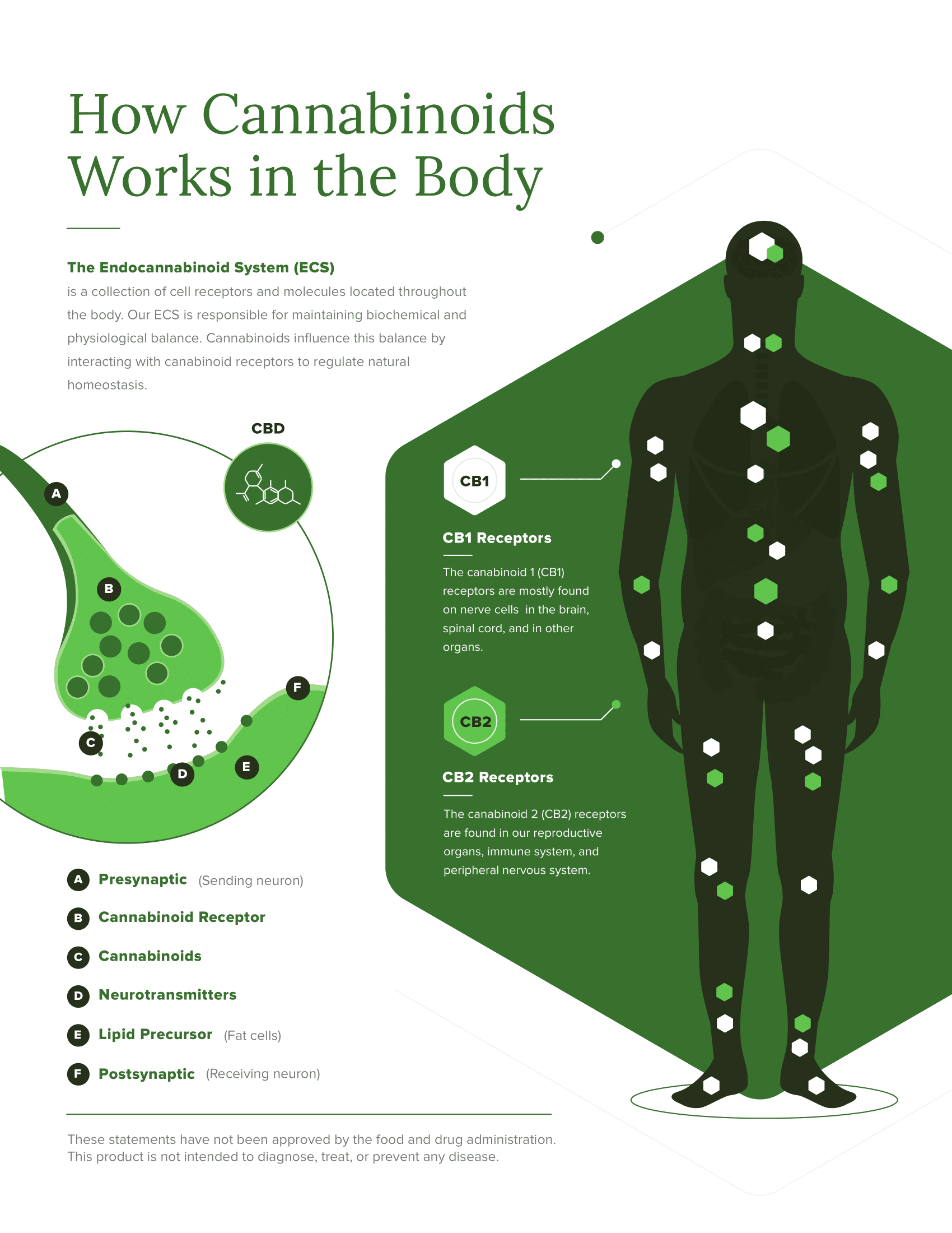 Infographic on how CBD works in the human body by interacting with numerous receptors including our Endocannabinoid System