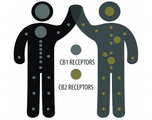 What CBD feels like happens when it interacts with our Endocannabinoid System